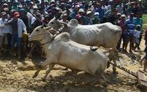 Hú vía xem đua bò Bảy Núi ở sân mới, bò sụp té liên tục