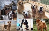 'Điểm mặt' những giống chó siêu đắt, chi phí nuôi siêu cao trên thế giới