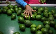 Băng đảng Mexico sẵn sàng giết chóc vì lợi nhuận từ 'vàng xanh'