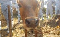Hàn Quốc phát hiện kháng thể của virus gây lở mồm long móng ở gia súc