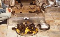 Ngôi đền toàn chuột là chuột, 25.000 con