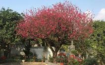Ngắm cây đào 'siêu to khổng lồ' ở Bắc Giang nở đầy hoa đỏ rực