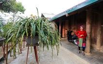 Trồng địa lan rừng bán tết, bản Mông thu về tiền tỉ