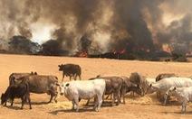Đảo Kangaroo của Úc cháy ngoài tầm kiểm soát, chính quyền kêu gọi di tản