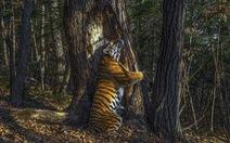 Hổ Siberia ôm cây đoạt giải ảnh động vật hoang dã năm 2020