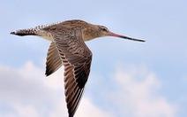 Chú chim 'như máy bay phản lực', vượt hơn 12.000km trong 11 ngày không nghỉ
