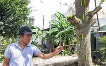 Sâu lạ ăn lá bàng ở Tiền Giang là loại sâu có giá trị trong sản xuất tơ lụa