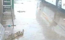 Cá sấu trại lớn nhất An Giang thoát cửa chính 'đi thăm'... bến xe khách