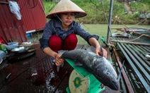 Thủy điện Hòa Bình xả lũ: Cá chết tăng thêm hàng chục tấn
