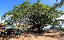 Tổng thống Kenya ban hành sắc lệnh chỉ để bảo vệ một cây sung