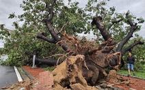Tiếc nuối cây xà cừ hơn trăm tuổi ở Huế bị bão số 13 quật ngã
