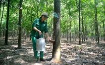 Cây cao su được tính vào tỉ lệ che phủ rừng không?