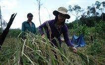 Người dân buồn bã vì tan hoang vụ lúa rẫy vùng sạt lở Phước Sơn