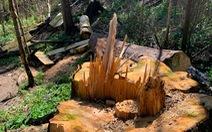 Lâm Đồng chỉ đạo khẩn xử lý vụ đốn hạ bạch tùng trong rừng nguyên sinh
