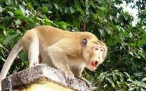 Tây Ninh: Khỉ liên tục tấn công trường học, nhà dân gây thương tích