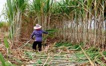 Cách Brazil, Úc… bảo vệ ngành mía đường nước nhà