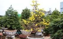 Thời tiết mưa gió thất thường, dân trồng mai tết phập phồng