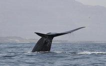 Lần theo giọng hát lạ dưới đại dương, bất ngờ gặp bầy cá voi xanh 'ở ẩn'