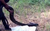 Thả rắn hổ mang chúa 21kg vào Khu bảo tồn thiên nhiên văn hóa Đồng Nai
