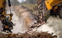 Đan Mạch chôn hàng triệu con chồn nâu để ngừa COVID-19