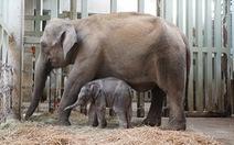 Vườn thú Tokyo đón mừng voi con đầu tiên sinh ra tại đây