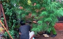 Phát hiện cây nghi là cần sa kích thước 'khủng' trong vườn nhà dân