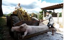 Đàn heo giống tại Lâm Đồng dương tính với virus dịch tả heo châu Phi