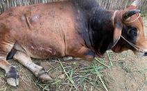 Nguy cơ lây lan rộng dịch bệnh viêm da nổi cục trên trâu, bò
