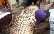 Cá hô trên trăm ký được bán chớp nhoáng tại An Giang