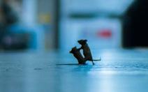 Thắng giải ảnh nhờ 'chộp' khoảnh khắc 2 chú chuột đánh nhau
