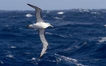'Điệp viên' hải âu truy tìm tàu cá trái phép