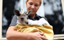 Hơn 100 loài động vật bản địa cần hỗ trợ khẩn cấp sau cháy rừng ở Australia