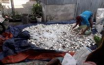 Hàng chục tấn cá bè trên sông Cái Vừng tiếp tục chết do thiếu oxy