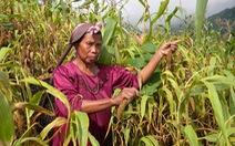 Biến đổi khí hậu khiến nông dân Ấn Độ chuyển sang trồng kê