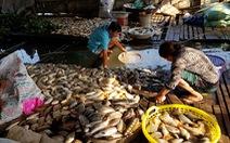 Hàng chục tấn cá nuôi trên sông Cái Vừng lại chết vì thiếu oxy