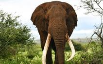 Một trong những con voi ngà dài cuối cùng của châu Phi qua đời