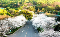 Bộ ảnh Vũ Hán và lời hẹn ước ngắm hoa anh đào