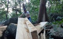 Lâm tặc xẻ gỗ ngay trong rừng phòng hộ đầu nguồn