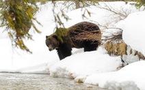 Thời tiết ấm kỷ lục, gấu ngủ đông tỉnh dậy sớm cả 2 tháng