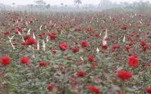 Dân Hạ Lôi thất thần nhìn hoa úa trong những ngày cách ly