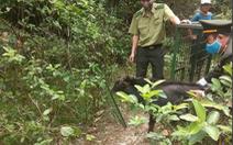 Thả sơn dương quý hiếm nặng 30kg về rừng
