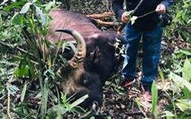 Bò tót đực 500kg kẹt vũng lầy, chết trong khu bảo tồn Đồng Nai