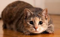 Mèo nhà đã trở thành những thú cưng đầu tiên mắc COVID-19 tại Mỹ?