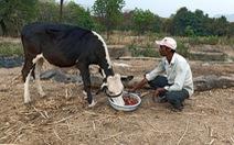 Dâu tây, xà lách phải đổ cho bò ăn vì COVID-19