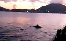 Đàn cá heo 'nhảy múa' trên vịnh Nha Trang, bình thường hay bất thường?