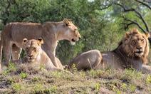Bắt lại được 7 con sư tử lớn xổng chuồng