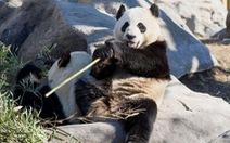 Vườn thú Canada trả gấu trúc về Trung Quốc vì không có đủ tre