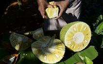 Quả mít - 'Siêu thực phẩm' có tiềm năng lớn của Ấn Độ