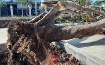 Đắk Lắk: một cây phượng vĩ lớn bật gốc trong sân trường