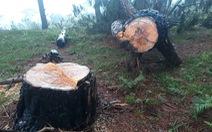 Rừng thông cổ thụ bị đốn hạ trong khu danh thắng Lang Biang
